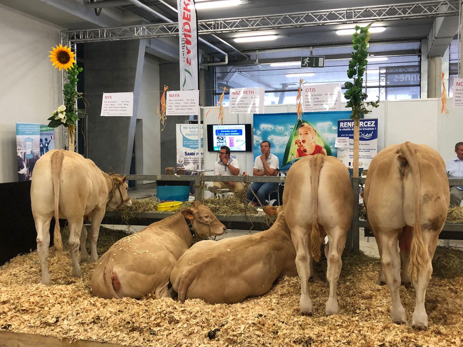 Foire de Libramont – Belgique : les taureaux d'IA du GIE BLOND & leur descendance
